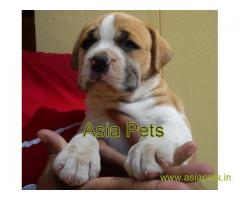 pitbull puppy for sale in Kanpur best price