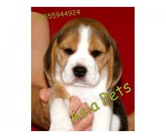 Beagle puppies price in Bhopal , Beagle puppies for sale in Bhopal