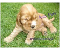 American Cocker spaniel puppies  for sale in Gurgaon on Best Price Asiapets