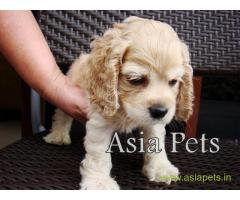 American Cocker spaniel puppies  for sale in Madurai on Best Price Asiapets