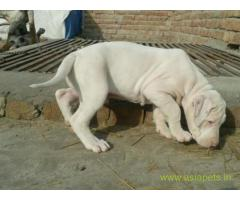 Pakistani bully puppies  for sale in Bangalore on Best Price Asiapets