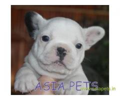 French bulldog puppies  for sale in Agra on Best Price Asiapets