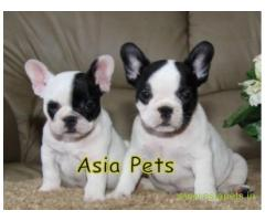 French bulldog puppies  for sale in Lucknow on Best Price Asiapets