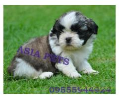 Shih tzu puppies  for sale in Chandigarh on Best Price Asiapets