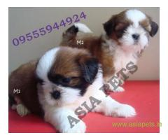 Shih tzu puppies  for sale in Kanpur on Best Price Asiapets