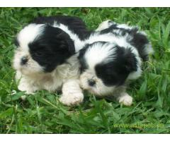 Lhasa apso puppies for sale in Agra, on best price asiapets