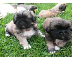 Lhasa apso puppies for sale in  Bhubaneswar, on best price asiapets