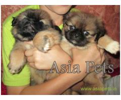 Lhasa apso puppies for sale in Ghaziabad, on best price asiapets