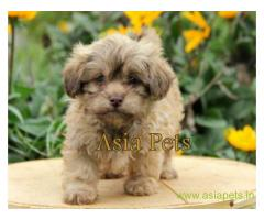Lhasa apso puppies for sale in Hyderabad, on best price asiapets