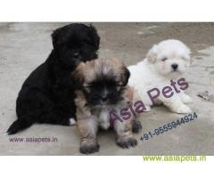 Lhasa apso puppies for sale in Indore, on best price asiapets