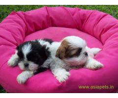 Lhasa apso puppies for sale in Gurgaon , on best price asiapets