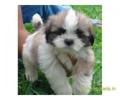 Lhasa apso puppies for sale in Lucknow, on best price asiapets