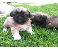 Lhasa apso puppies for sale in Surat, on best price asiapets