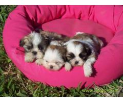 Lhasa apso puppies for sale in Vadodara, on best price asiapets