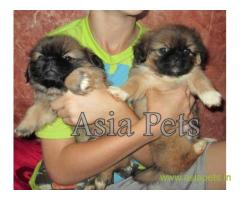 Pekingese puppies  for sale in Bangalore on Best Price Asiapets