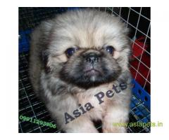 Pekingese puppies  for sale in Jaipur on Best Price Asiapets