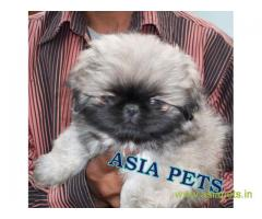 Pekingese puppies  for sale in Lucknow on Best Price Asiapets
