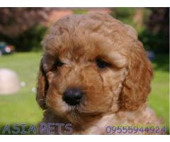 Poodle puppies for sale in Agra on best price asiapets