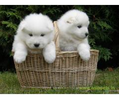 Samoyed puppies  for sale in vijayawada on Best Price Asiapets