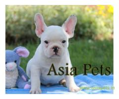 French bulldog puppies for sale in Secunderabad on best price asiapets