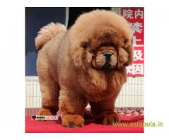 Tibetan mastiff puppies for sale in Ahmedabad on Best Price Asiapets