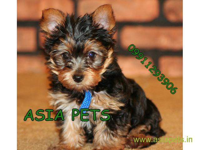 Cost of yorkshire terrier in india