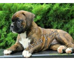 Boxer puppies for sale in Ghaziabad on best price asiapets