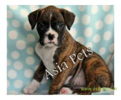 Boxer puppies for sale in Nagpur on best price asiapets