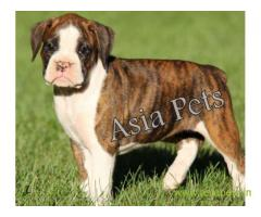 Boxer puppies for sale in Vizag on best price asiapets