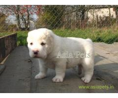 Alabai puppies for sale in Bangalore on best price asiapets