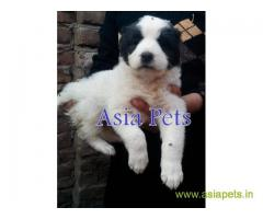 Alabai puppies for sale in Indore on best price asiapets