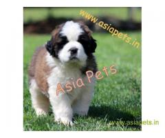 saint bernard puppies for sale in Hyderabad on best price asiapets