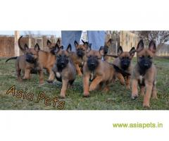 Belgian malinois puppies for sale in Agra on best price asiapets
