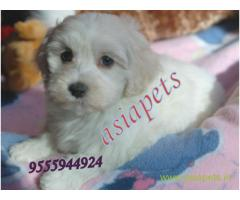 Havanese puppies for sale in Agra on best price asiapets