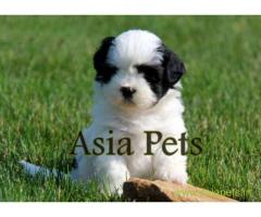 Havanese puppies for sale in Dehradun on best price asiapets