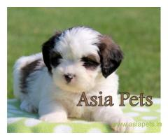 Havanese puppies for sale in Ghaziabad on best price asiapets