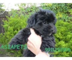 Havanese puppies for sale in Jaipur on best price asiapets