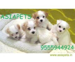 Havanese puppies for sale in Jodhpur on best price asiapets