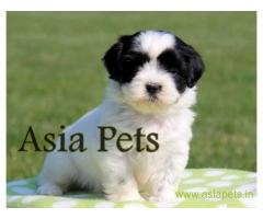 Havanese puppies for sale in Vadodara on best price asiapets