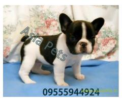 French bulldog pups for sale in Agra on French bulldog Breeders