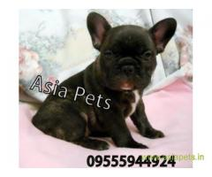 French bulldog pups for sale in Bangalore on French bulldog Breeders