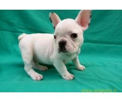 French bulldog pups for sale in Gurgaon on French bulldog Breeders