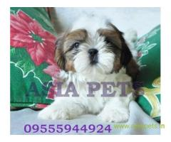 Shih tzu pups for sale in Bhubaneswar on Shih tzu Breeders