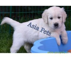 Golden Retriever pups for sale in Jaipur on Golden Retriever Breeders