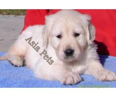 Golden Retriever pups for sale in Jodhpur on Golden Retriever Breeders
