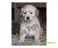 Golden Retriever pups for sale in Lucknow on Golden Retriever Breeders