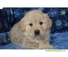 Golden Retriever pups for sale in Madurai on Golden Retriever Breeders