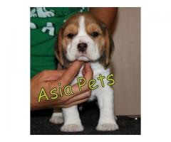 Beagle pups  price in Bhopal, Beagle pups  for sale in Bhopal,