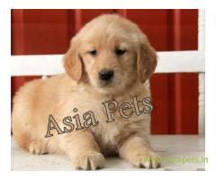Golden Retriever pups for sale in Mysore on Golden Retriever Breeders