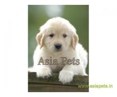 Golden Retriever pups for sale in Nagpur on Golden Retriever Breeders